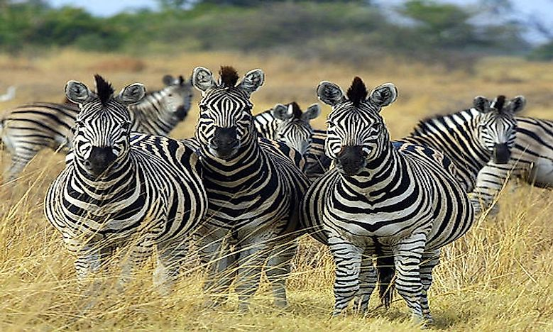 Interesting Facts About Zebras
