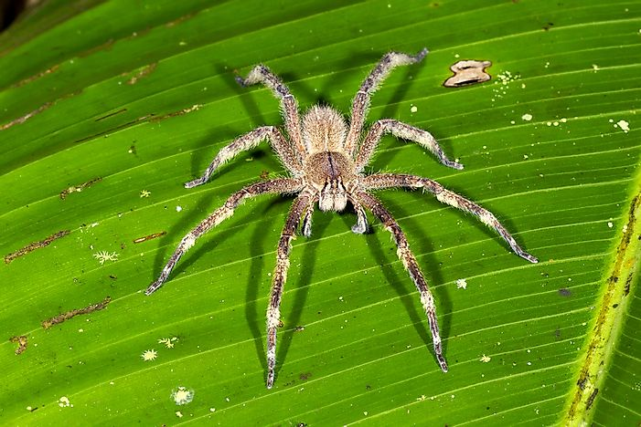 The wandering spider, found in the Amazon rainforest.