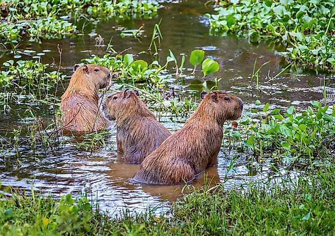 How Many Species Of Capybaras Are There?