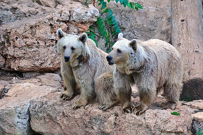 Brown bears at the Jerusalem Biblical Zoo.