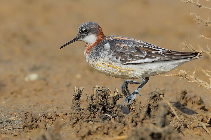 Three Species of Phalaropes Living in the World Today