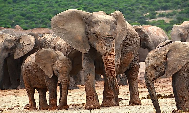 Size This Is The Largest Living Subspecies Of Elephant An Average Sized Adult Male Should Weigh Around 6 000 Kilograms 13 200 Pounds And Stand 3 2