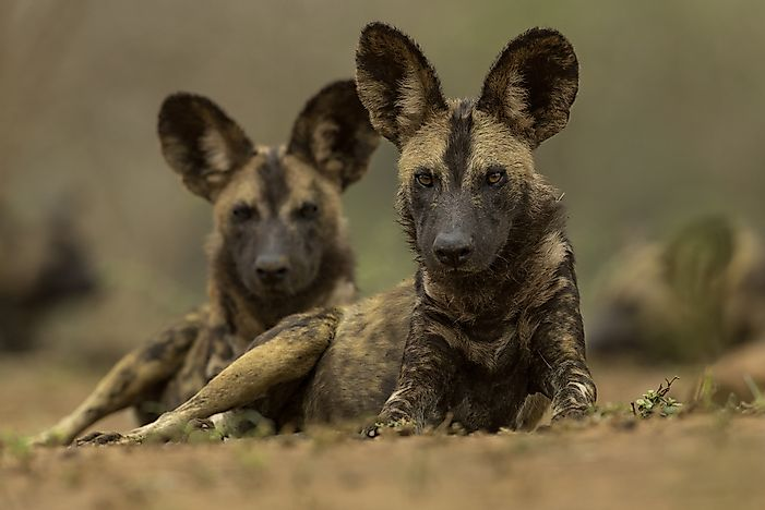 Unique Facts About the African Wild Dog