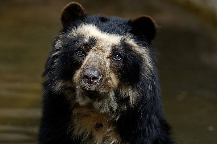 All About The Spectacled Bear, South America's Only Bear Species