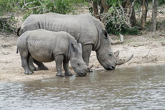 #3 White Rhinoceros