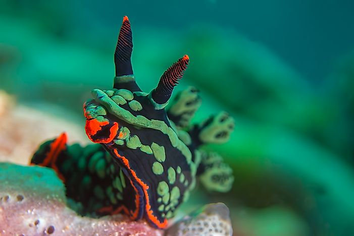 Sea slugs are often colorful in appearance.