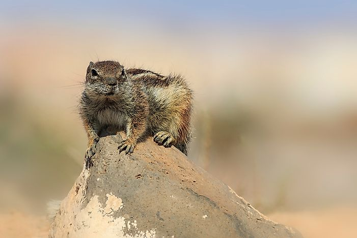 #3 Barbary Ground Squirrel