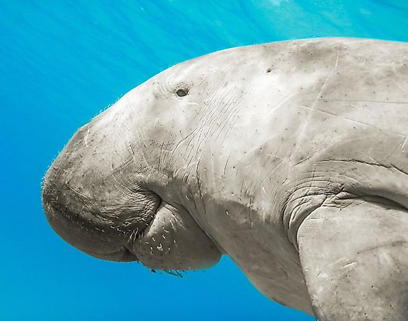 Despite their large size, dugongs mostly eat sea grass.