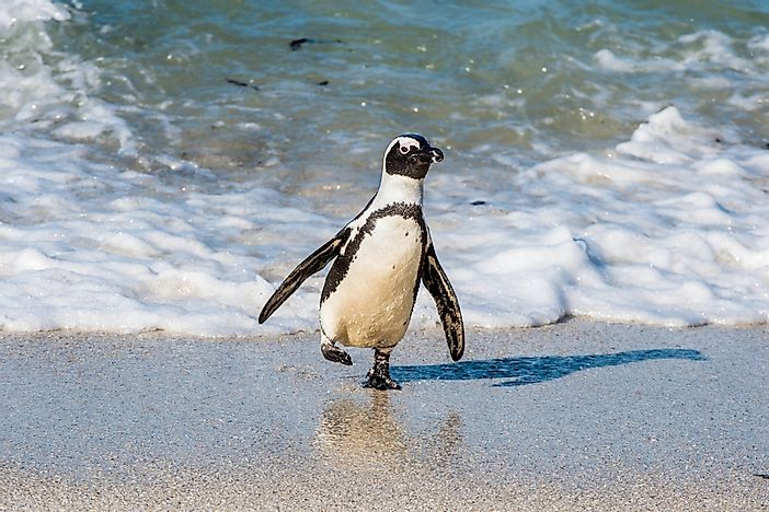 An African penguin in South Africa.