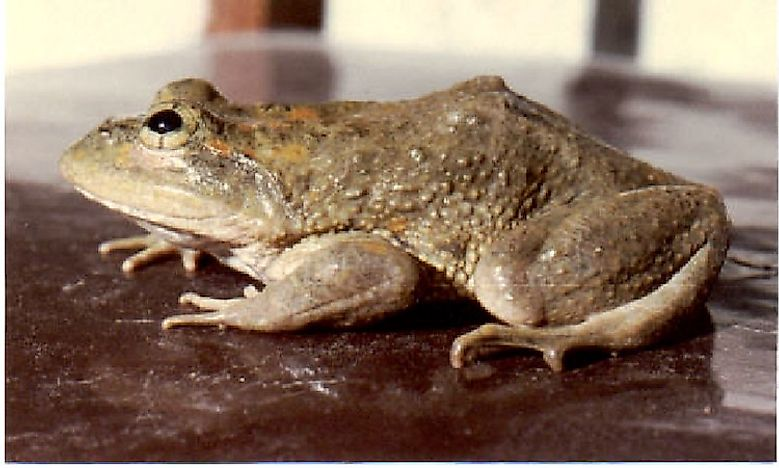Native Amphibians Of Afghanistan