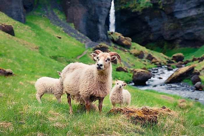 An Icelandic sheep.