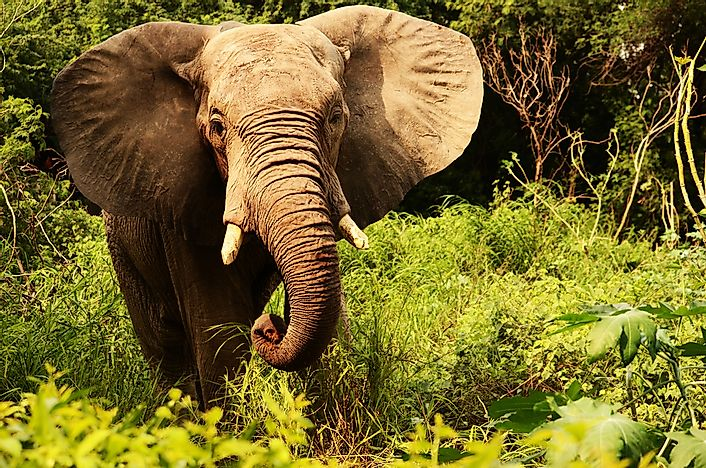 #2 Forest Elephant