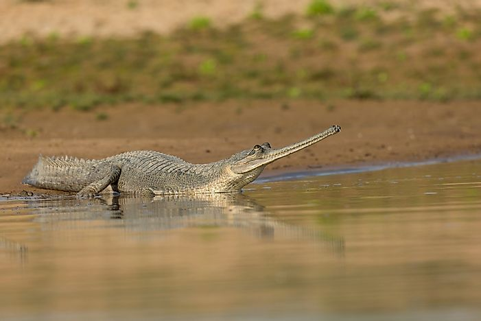 Gharial Facts - Animals of Asia