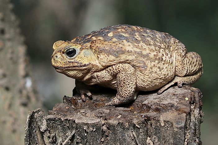 What Is The Largest Toad In The World?