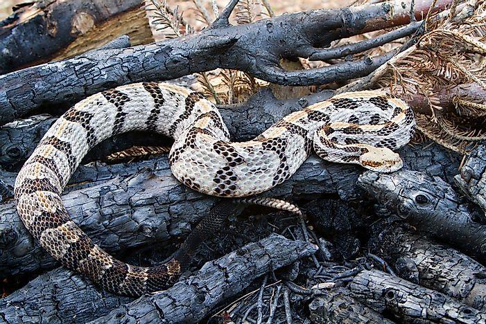 The Most Venomous Snakes Florida WorldAtlas