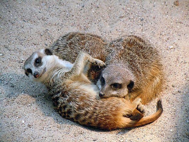 Meerkat Facts: Animals of Africa - WorldAtlas.com