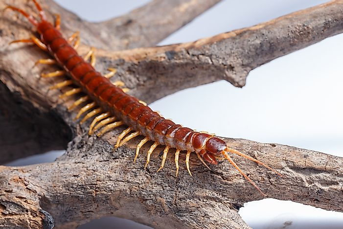 The giant centipede.