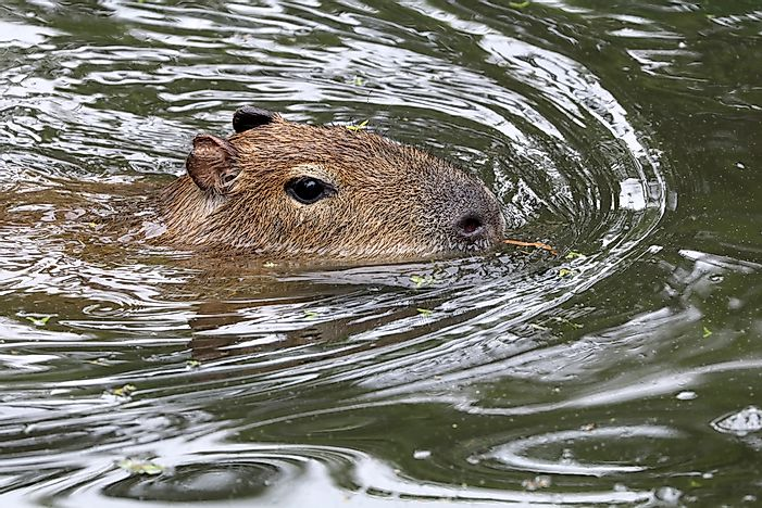 #7 Capybaras are very capable swimmers.