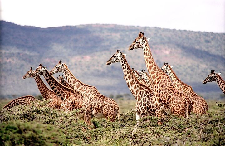 #1 How Are Baby Giraffes Made?