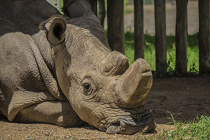 Is The Northern White Rhinoceros on the Verge of Extinction?