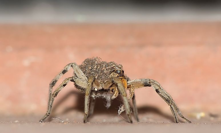 #2 Wolf Spiders