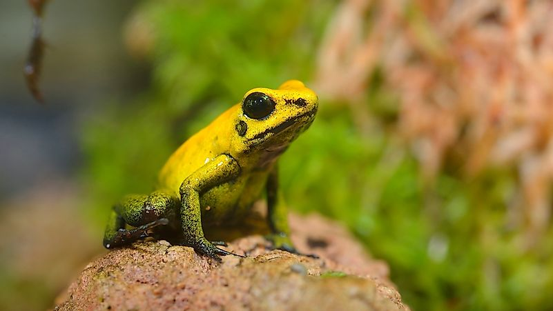 #5 Golden Poison Dart Frog