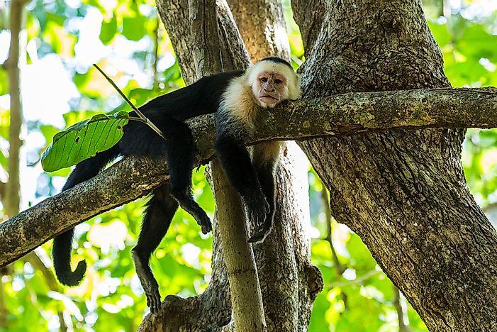 New World Monkeys - WorldAtlas.com