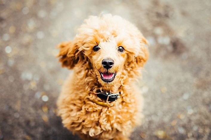 A miniature poodle puppy.