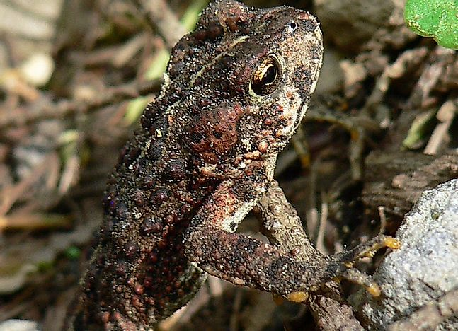 Native Amphibians Of Mexico