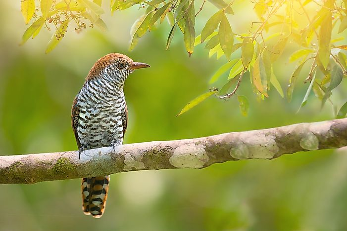 Cuckoo Birds - Animals of the World
