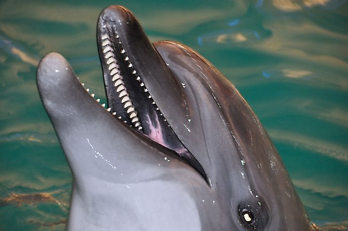 Bottlenose Dolphin Facts Animals Of North America