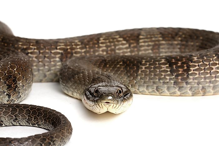 Lake Erie Water Snake Facts: Animals of North America