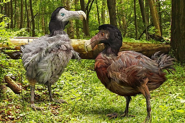 Is the Little Dodo on the Brink of Extinction?