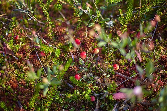 Cranberries on a bush in Latvia.