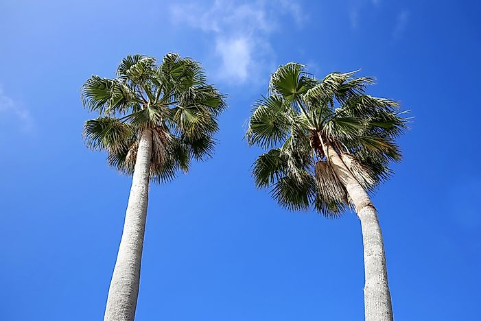 Are Palm Trees Native to Florida?