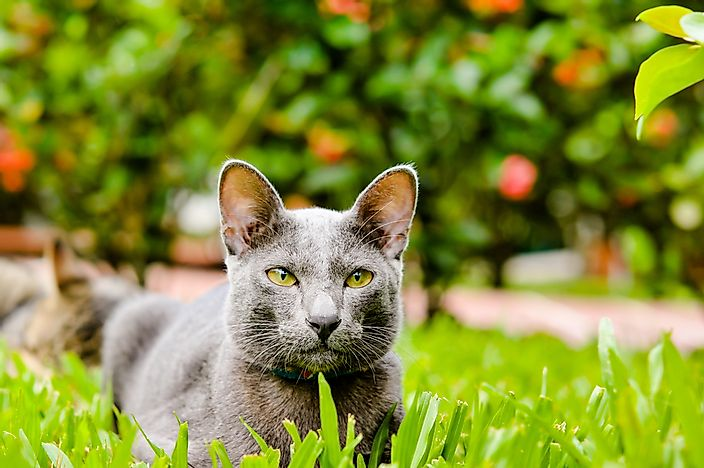 A Korat cat in the grass.