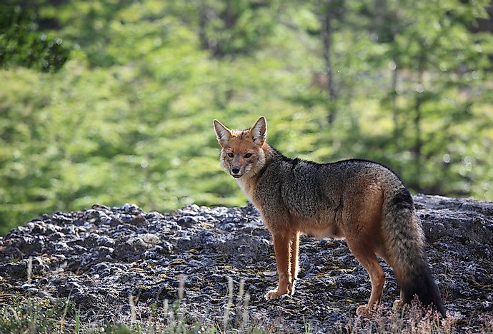 The South American gray fox.