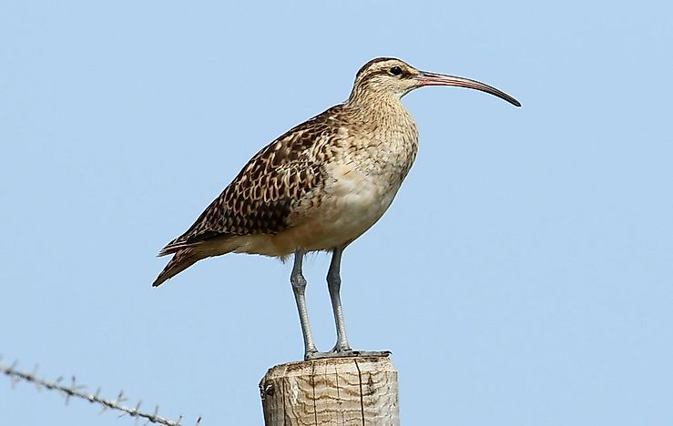 #1 Bristle-thighed curlew