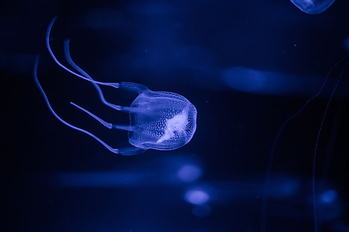 A box jellyfish in an aquarium.
