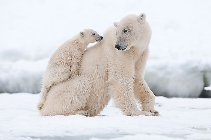 The Polar Bear Population Worldwide: Important Facts And Figures
