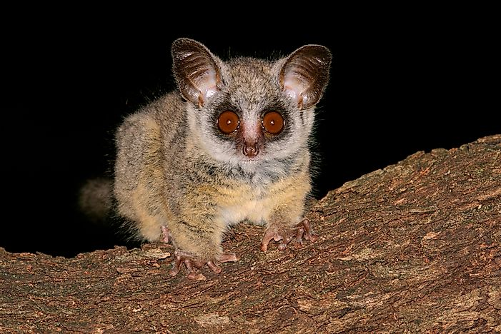Bushbaby Facts - Animals of Africa - WorldAtlas.com