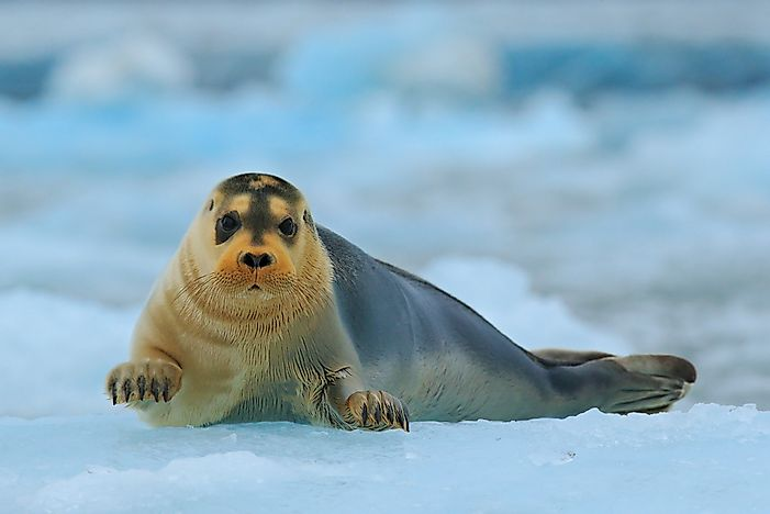 #9 Bearded seal