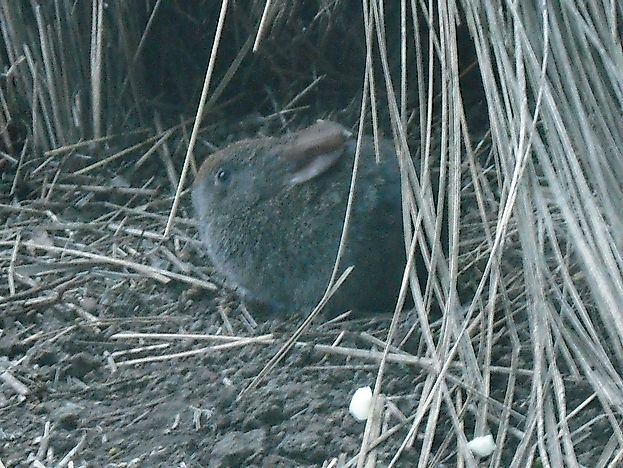 Volcano Rabbit Facts: Animals of North America