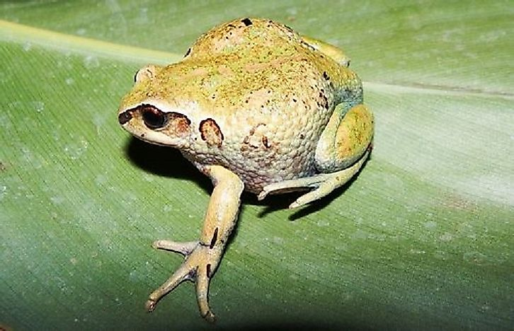 Native Amphibians Of Ethiopia