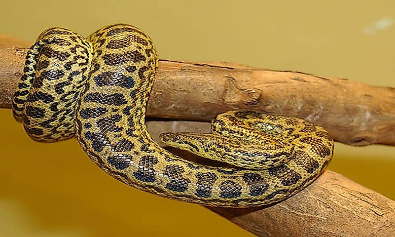 #2 Yellow Anaconda -