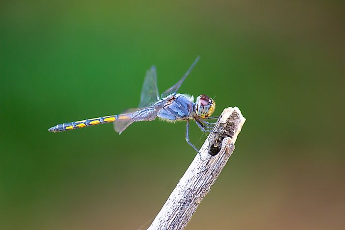 What Is Odonata?