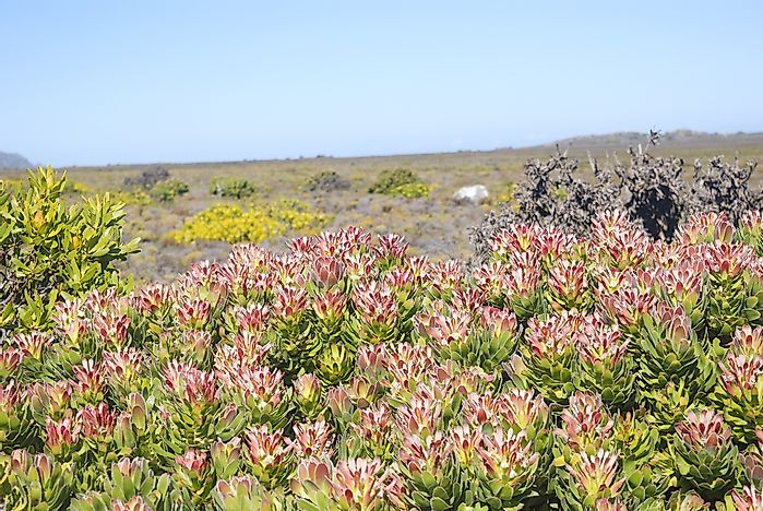 Fynbos shrubland ecoregion in Cape Point, South Africa.