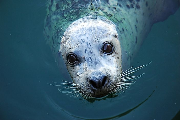 A grey seal in the ocean.