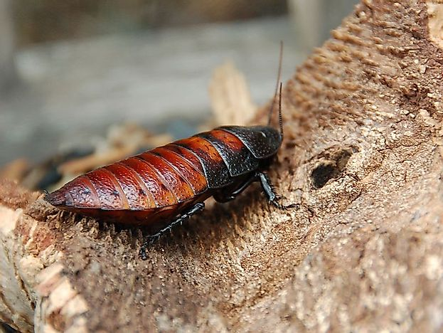 #6 Madagascar Hissing Cockroaches