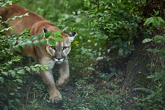 Are Cougars and Mountain Lions the Same Thing?